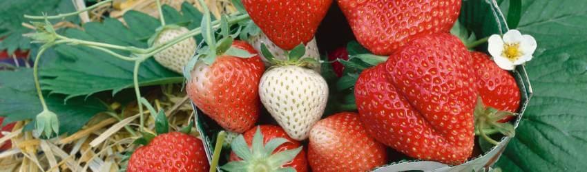 Starostlivosť o jahody