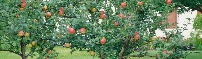Starostlivosť o ovocné stromy