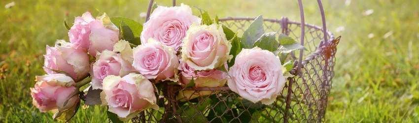 Stručný návod ako sa starať o ruže