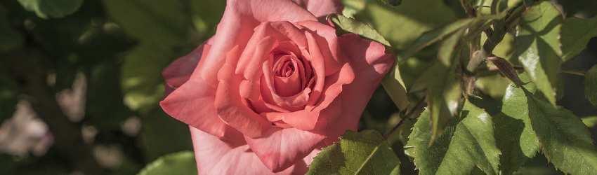 Ako sa postarať o ruže počas celého roka - článok