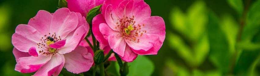Ruža kvet