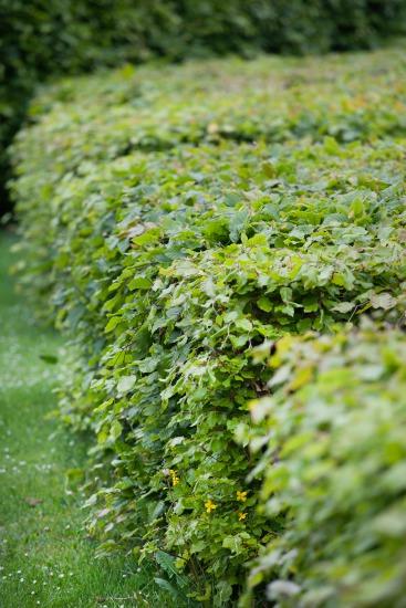 Živý plot - výsadba a ošetrovanie