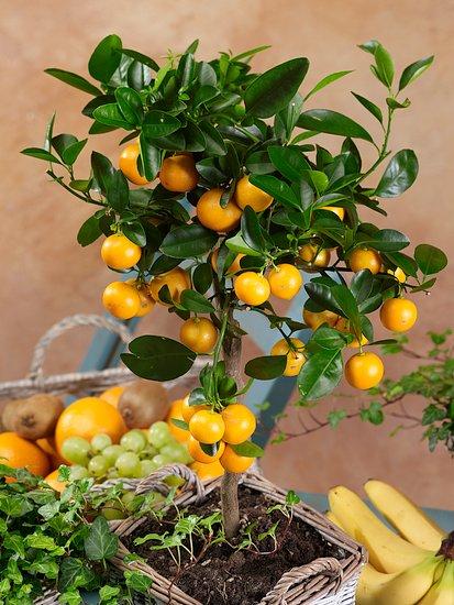 Ako úspešne pestovať citrusy