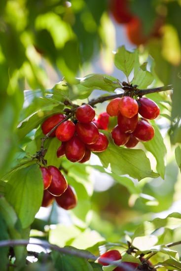 Netradičné drobné ovocie (Cornus mas)