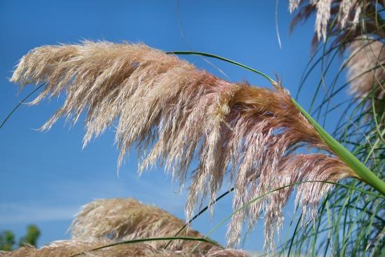 Okrasné trávy vyniknú aj na terase (Cortaderia)