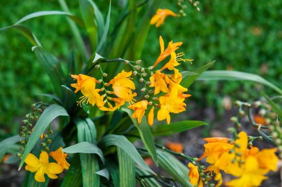 Letné cibule a hľuzy nesmú chýbať na žiadnom záhone