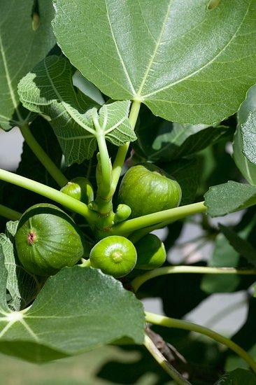 Dreviny nielen na kmienku, z ktorých je aj úžitok (Ficus carica)