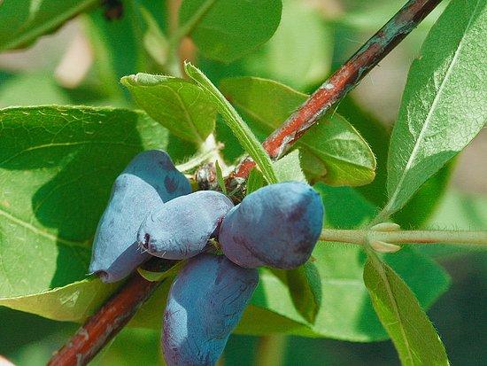Zber prvých plodov a práca v záhrade