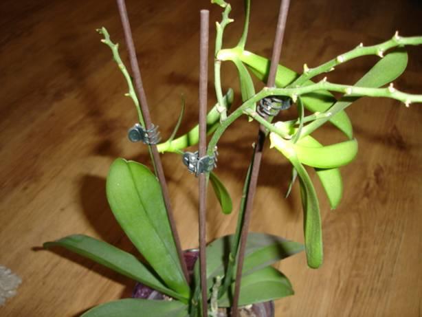 Rozmnožovanie orchideí pomocou keiku