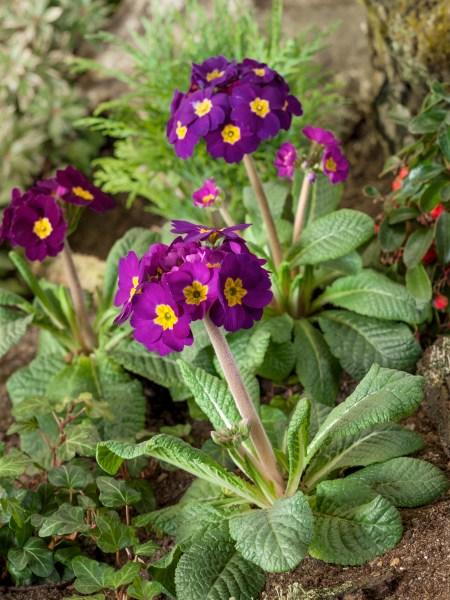 Jar v plnom prúde (Primula)