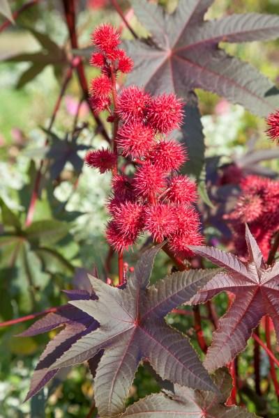 Kvety z výsevov (Ricinus)