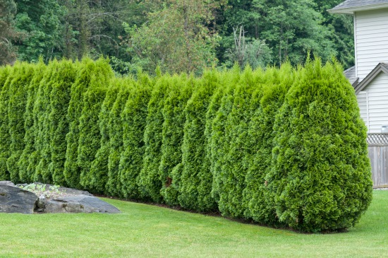 Starostlivosť o živý plot