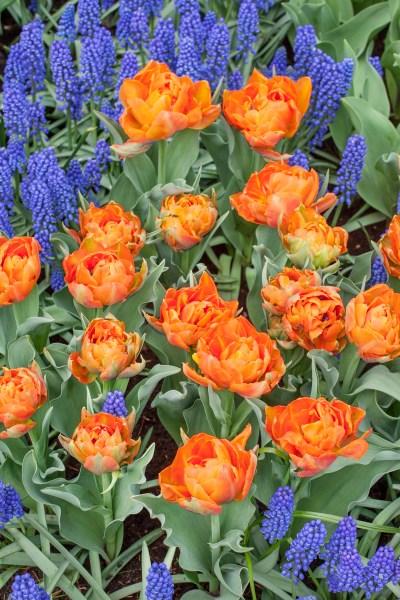 Cibuľoviny privítajú jar