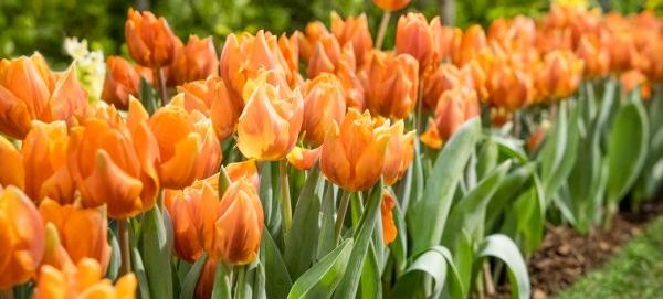 Aprílová záhrada (Tulipa)