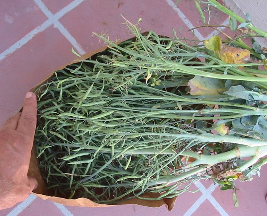 Zber semien