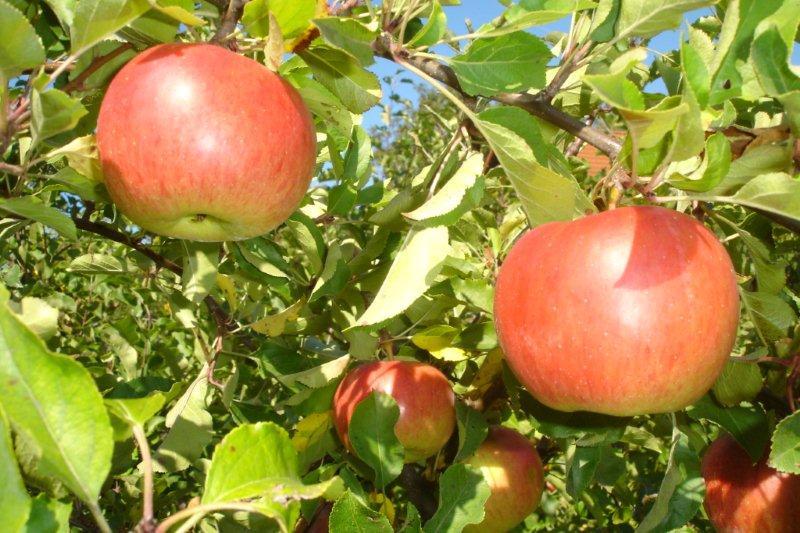 Ovocná záhrada v septembri