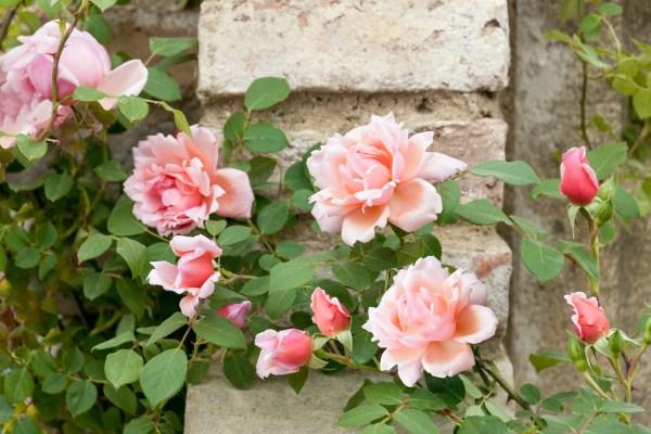 Návod ako zaštipovať ruže