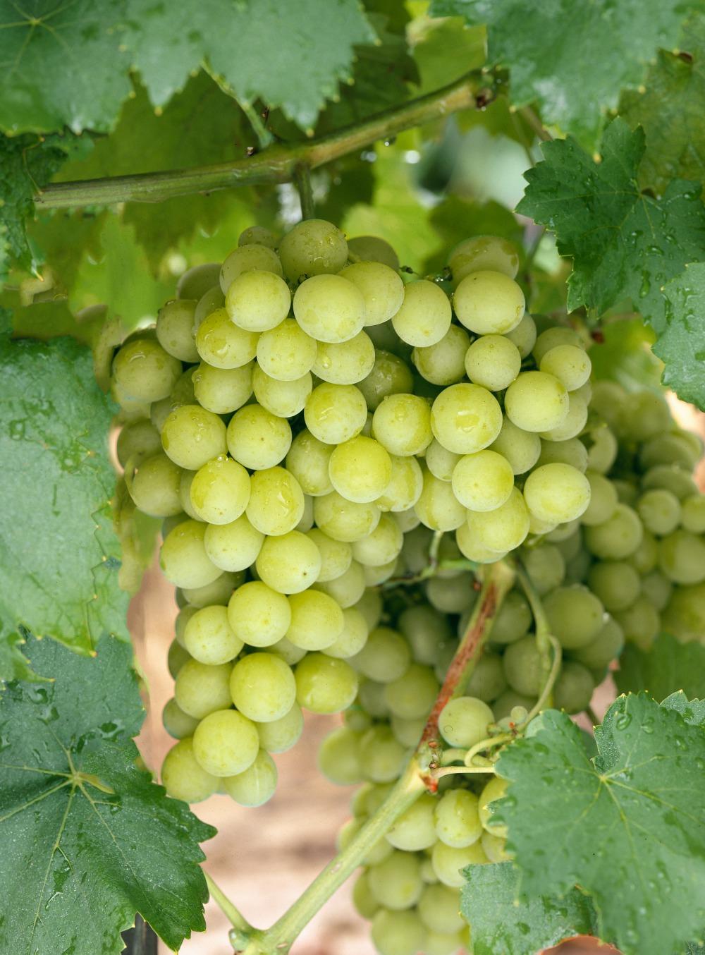 Vinič a jeho pestovanie