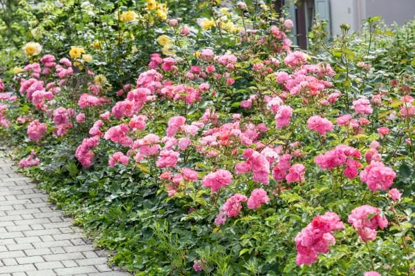 Starostlivosť o ruže