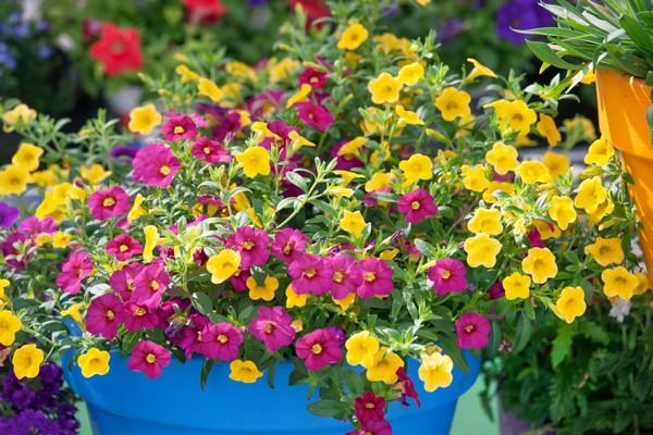 Minipetúnie v kvetináči