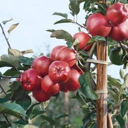 Ovocné stromy