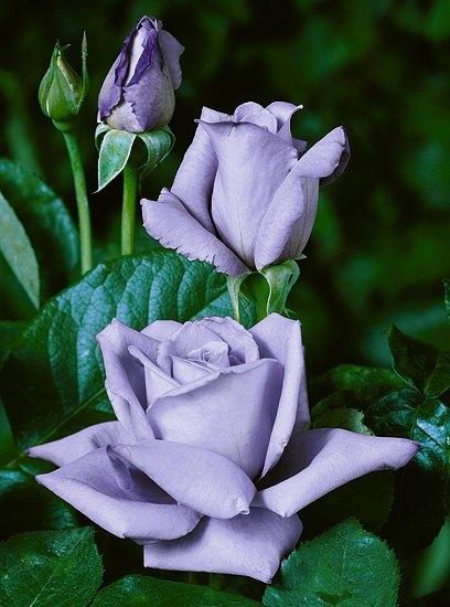 Návod ako rezať ruže